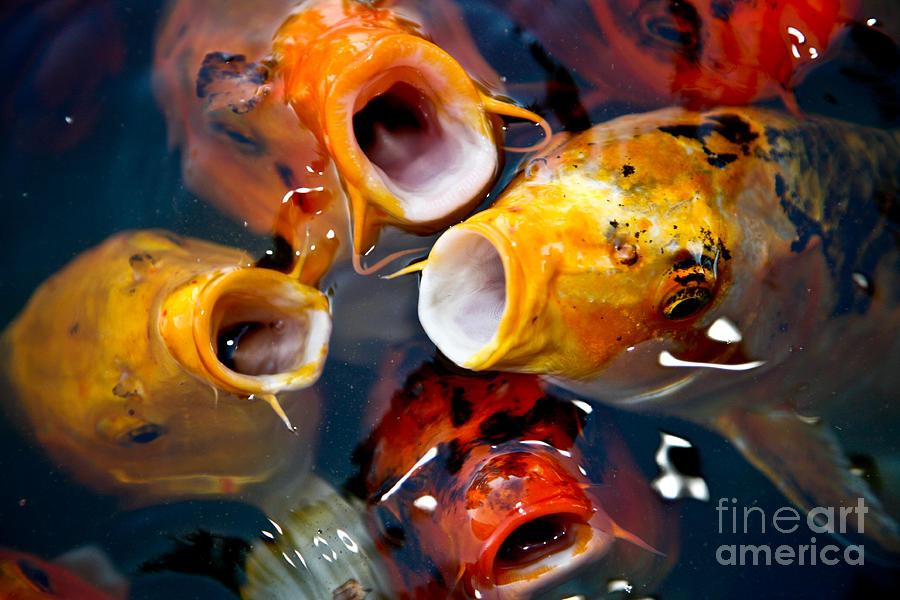 Koi fish school photograph by christy borgman for American koi fish