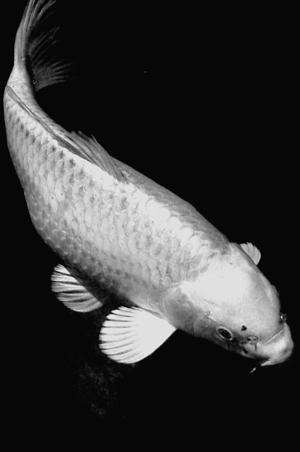 Koi Photograph - Koi In Monochrome by Don Mann