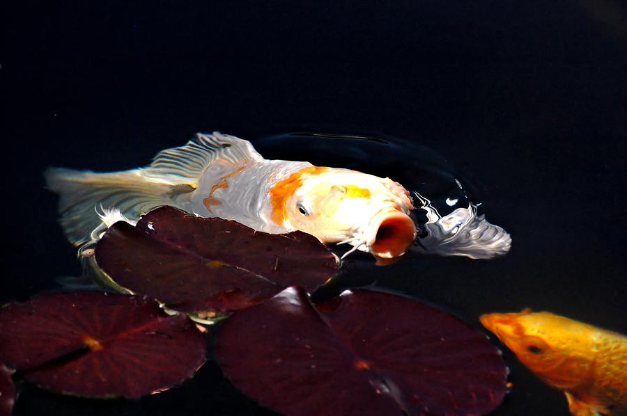 Koi Photograph - Koi In The Lillies by Don Mann