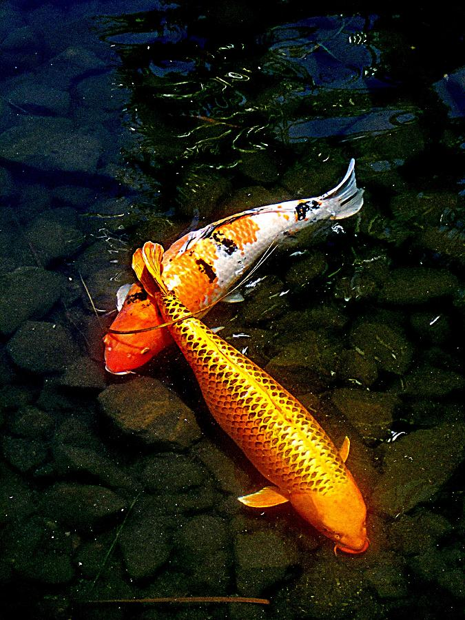 Koi Painting - Koi Story Two C by Randall Weidner