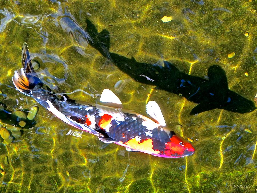 Fish Photograph - Koi With Shadow by Brian D Meredith