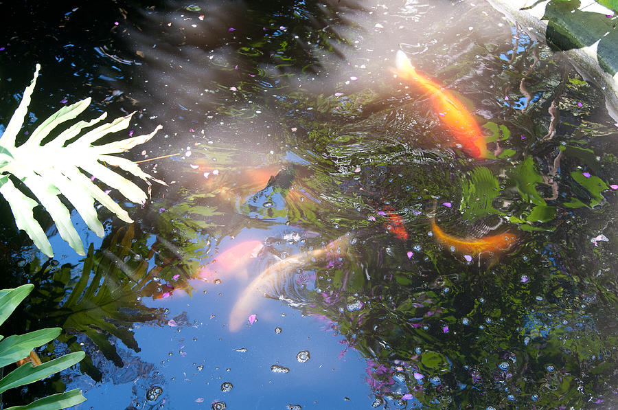 Koi Photograph - Kois In Motion by Herman Boodoo