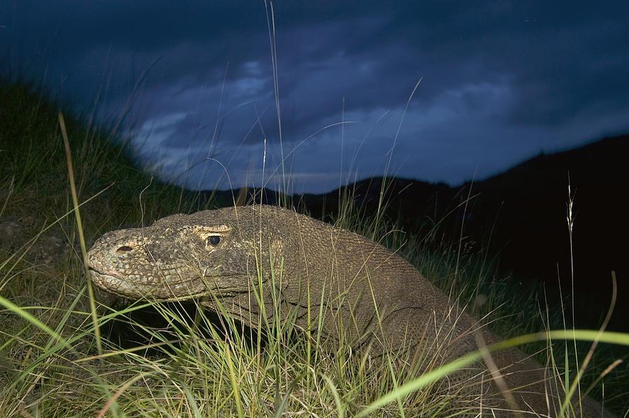 Komodo Dragon Varanus Komodoensis Photograph by Cyril Ruoso