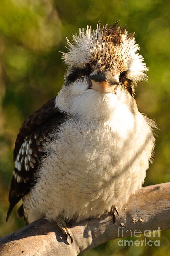 Kookaburra Photograph - Kookaburra  by Michael  Nau