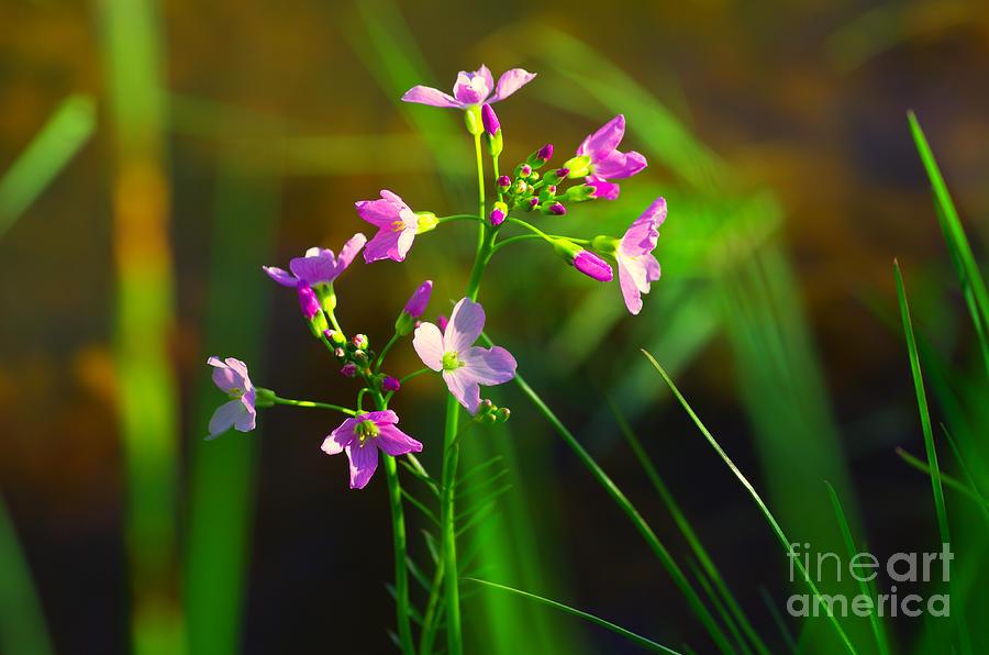 Natur Photograph - Kuckucksblume by Tanja Riedel
