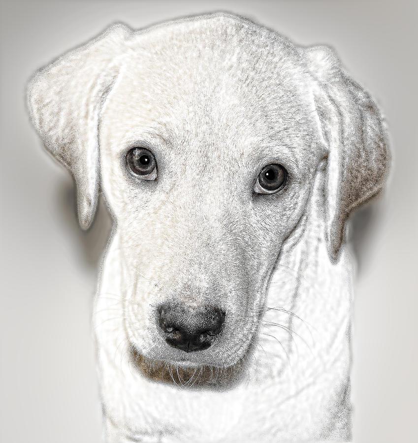 Animal Digital Art - Lab Puppy Bw Sketch by Linda Phelps