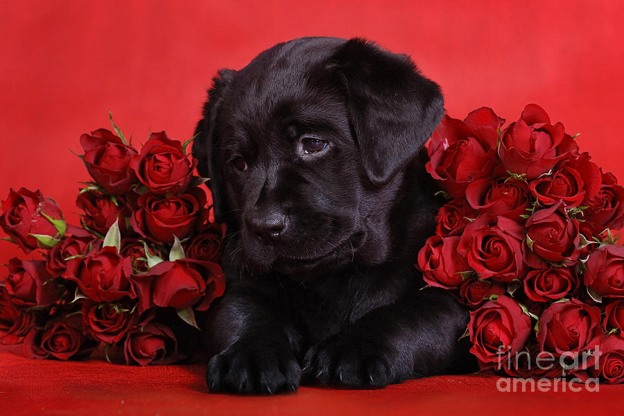 Labrador puppy with red roses photograph by waldek dabrowski - Valentines day pictures with puppies ...