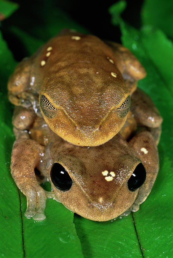 Mp Photograph - Lacelid Frog Nyctimystes Dayi Pair by Michael & Patricia Fogden