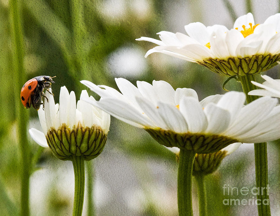 Daisy Flowers Photograph - Lady Bug Loves A Flower by Bobbi Feasel