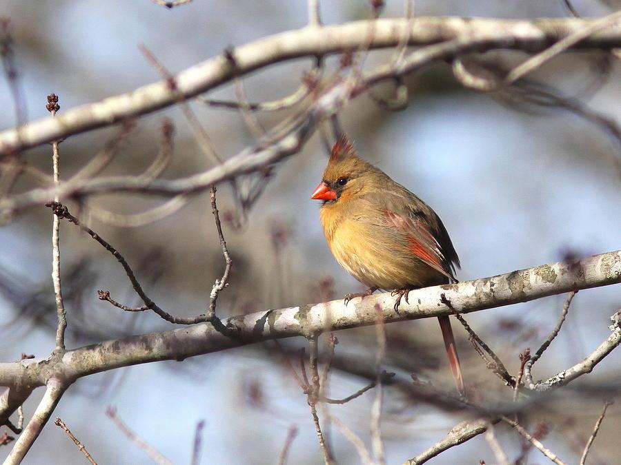 Lady Cardinal Photograph