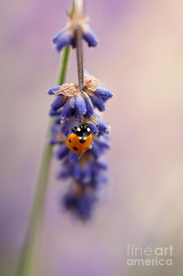 Ladybird Photograph - Ladybird And Lavender by John Edwards