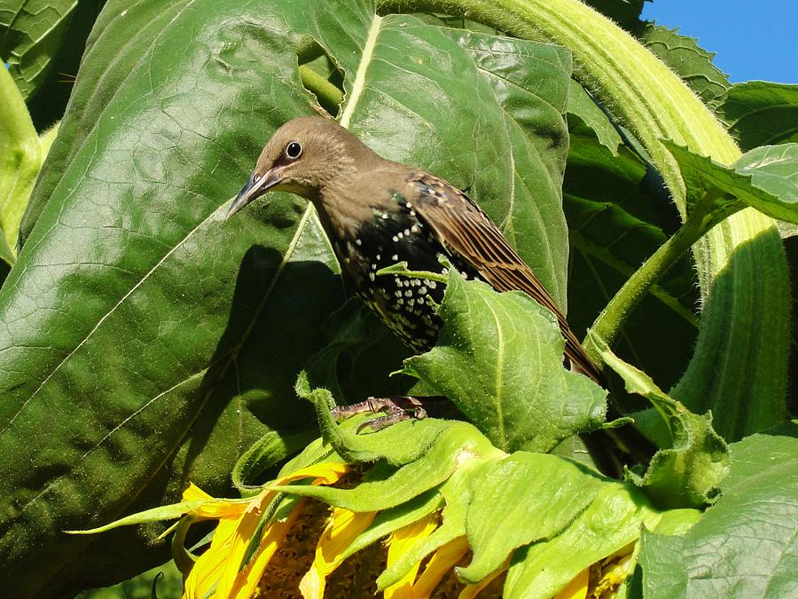 Ladybird Starling On A Sunflower Photograph by Katie Bauer
