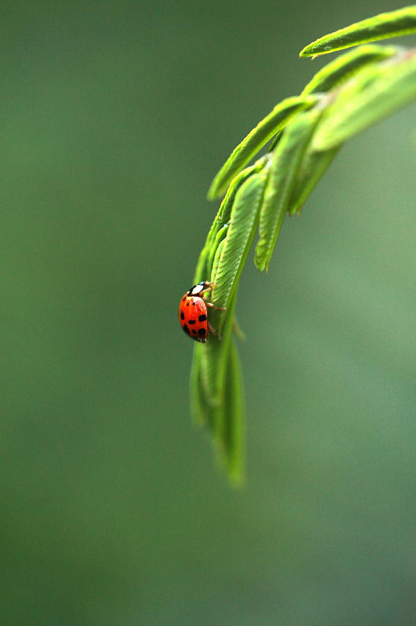 Ladybug Photograph - Ladybug 1 by Pan Orsatti