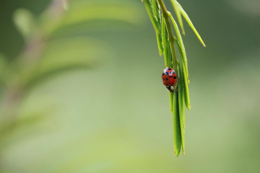 Ladybug Photograph - Ladybug 3 by Pan Orsatti