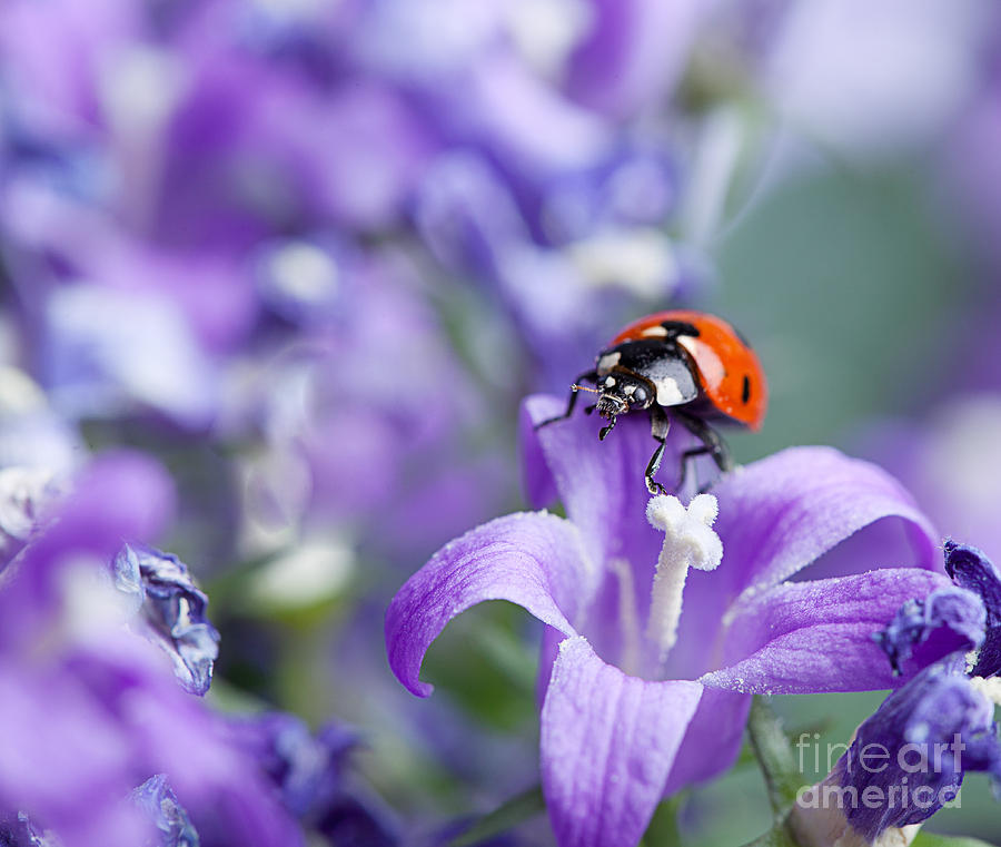 Ladybug Photograph - Ladybug and Bellflowers by Nailia Schwarz