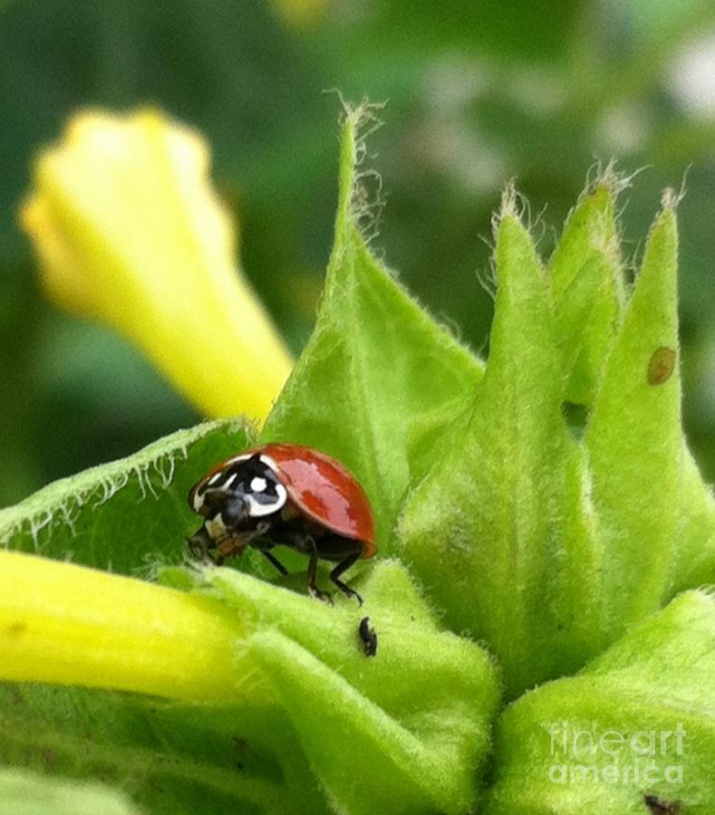 Ladybug Photograph - Ladybug by Daniele Smith