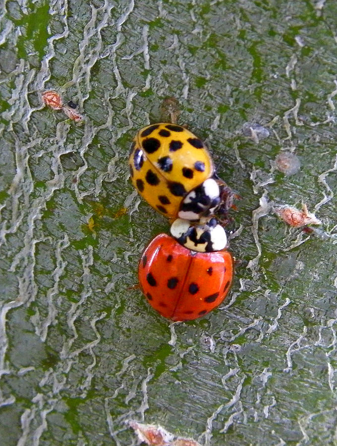 Insects Photograph - Ladybug Love by Judy Wanamaker