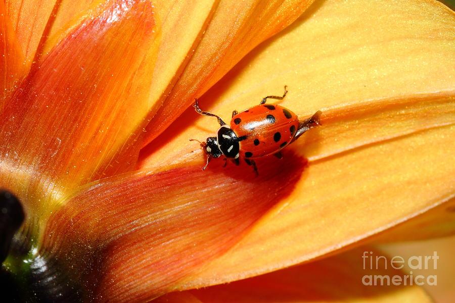 Ladybug Photograph - Ladybug On Orange Yellow Dahlia . 7d14686 by Wingsdomain Art and Photography