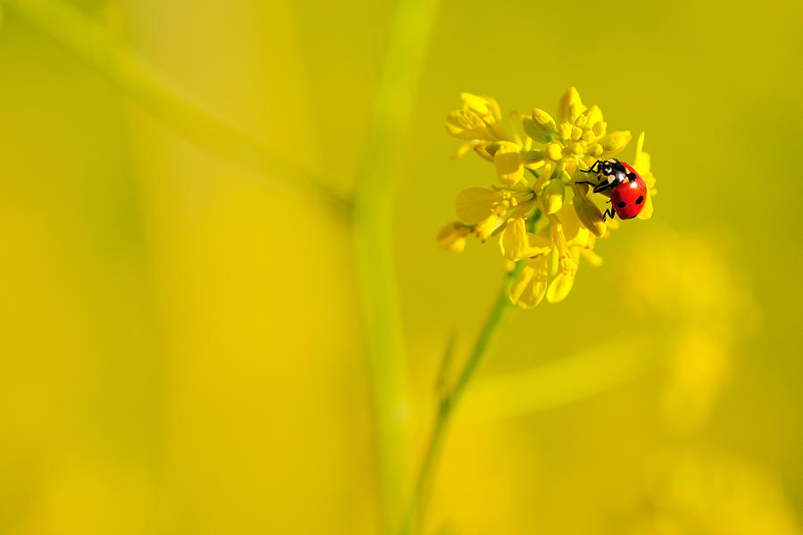 Lady Bug Photograph - Ladybug On Yellow Flower by Hegde Photos
