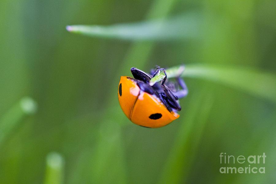 Landscape Photograph - Ladybug Topsy Turvy by Donna Munro