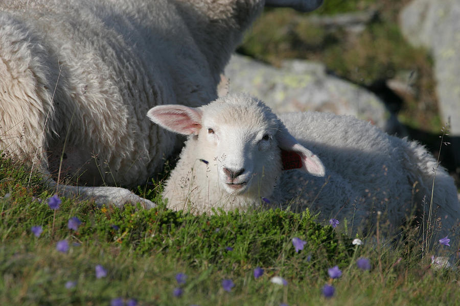 Lamb On Blooming Meadow Photograph