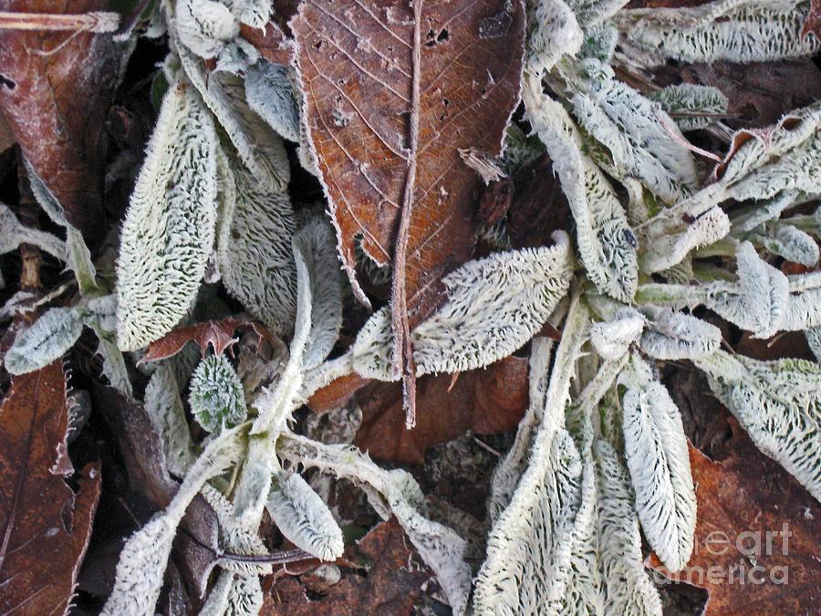 Frost Photograph - Lambs Ears Perennial by Ellen Miffitt