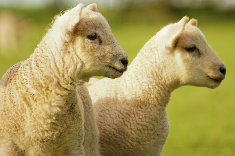 Horizontal Photograph - Lambs by Ginny Battson