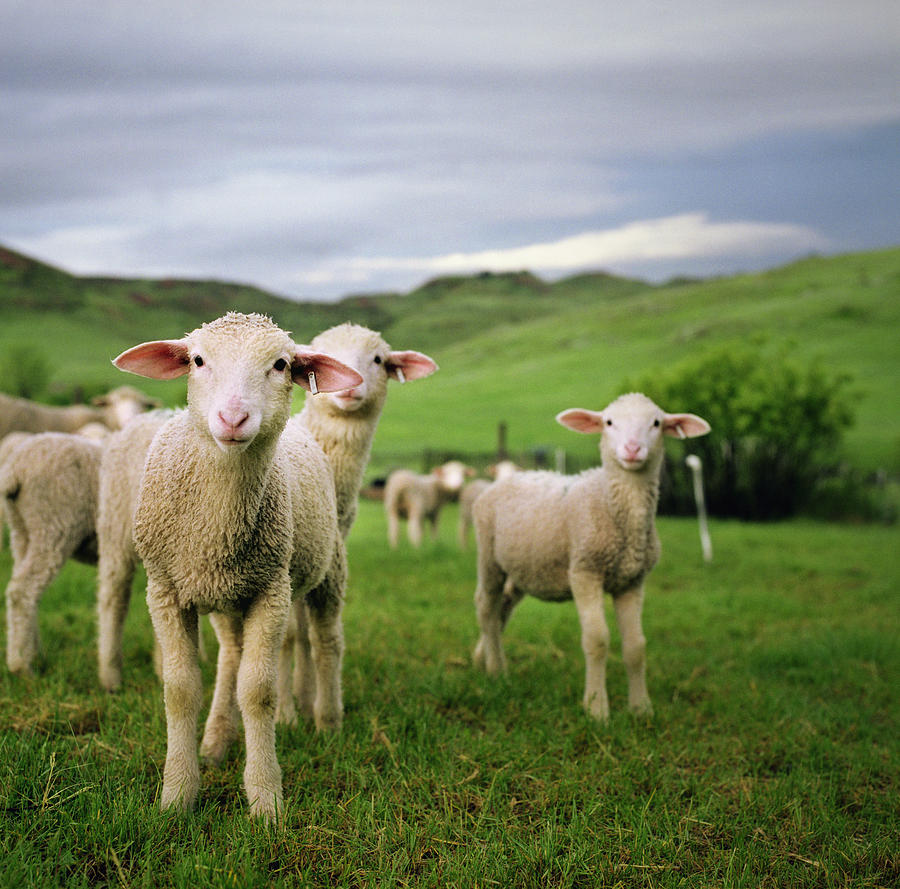 Horizontal Photograph - Lambs In Wyoming by Danielle D. Hughson