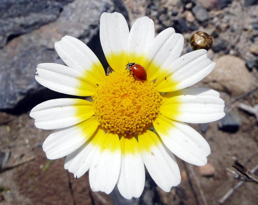 Flower Photograph - Landed On The Sun by E White