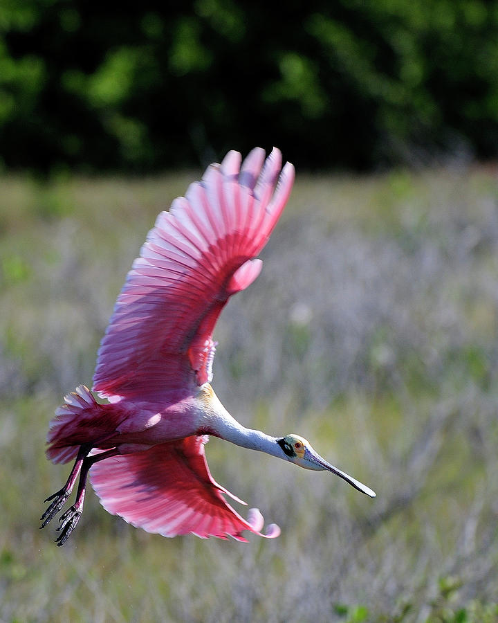 Roseate Spoonbill Photograph - Landing At The Refuge by Bill Dodsworth