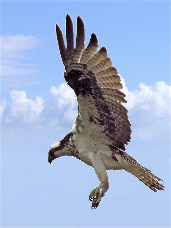 Osprey Photograph - Landing Gear Down 2158 by J D  Whaley