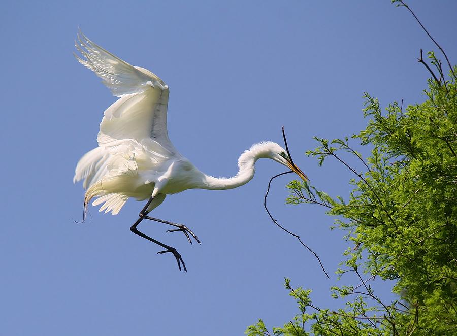 Great White Egret Photograph - Landing Gear Down by Paulette Thomas