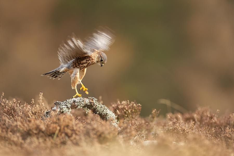 Merlin Photograph - Landing Merlin Falco Columbarius   by Nigel  Atkinson