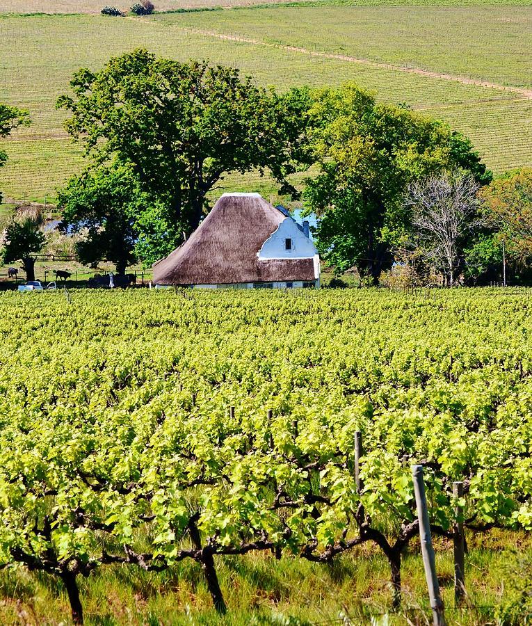 Landscape; Vineyard; Wine Lands; Stellenbosch; South Africa; Thatch; Wine Field; Cape Duch House; Green; Plants; Leaf; Stem; Trees; Meadow; Spring; Background;  Photograph - Landscape With Vineyard by Werner Lehmann