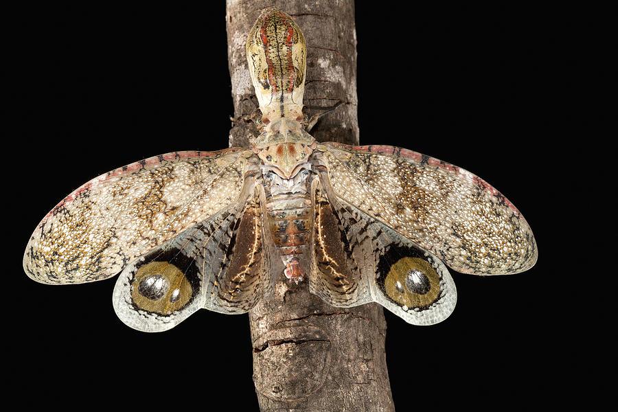 Lantern Bug Fulgora Laternaria Photograph by Christian Ziegler