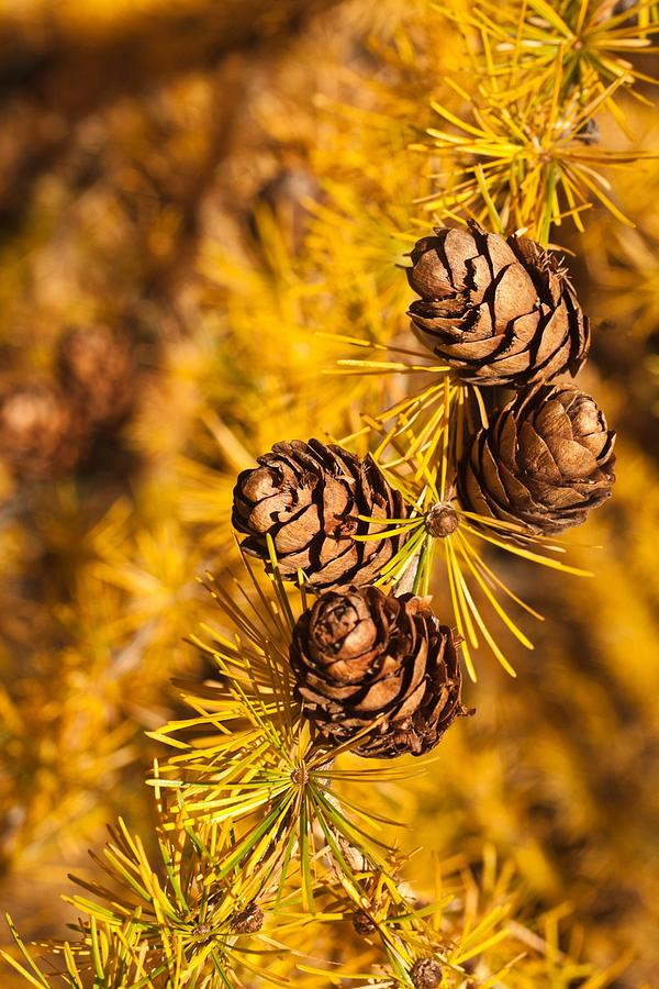 Tree Photograph - Larch Tree Cones by Graeme Knox