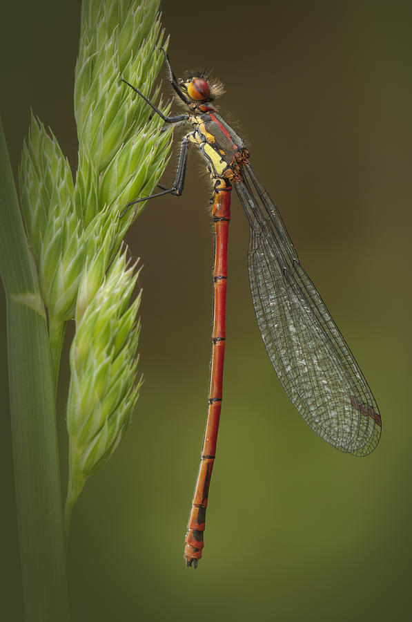 Red Photograph - Large Red Damselfly by Andy Astbury