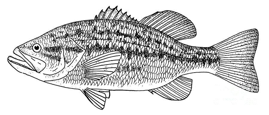Largemouth Bass Photograph By Granger
