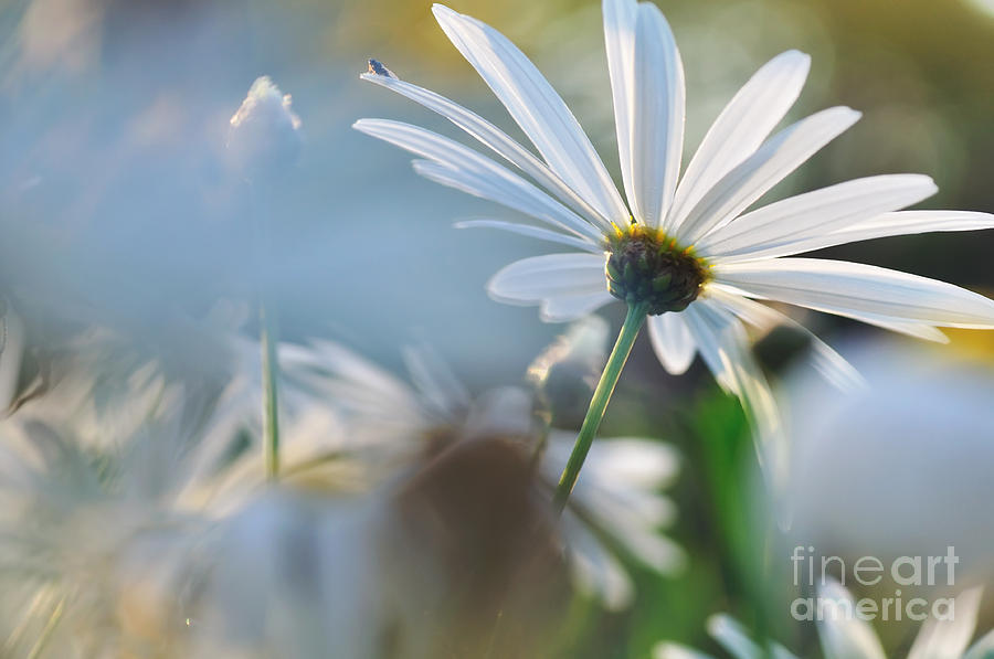 White Daisies Photograph - Late Sunshine On Daisies by Kaye Menner
