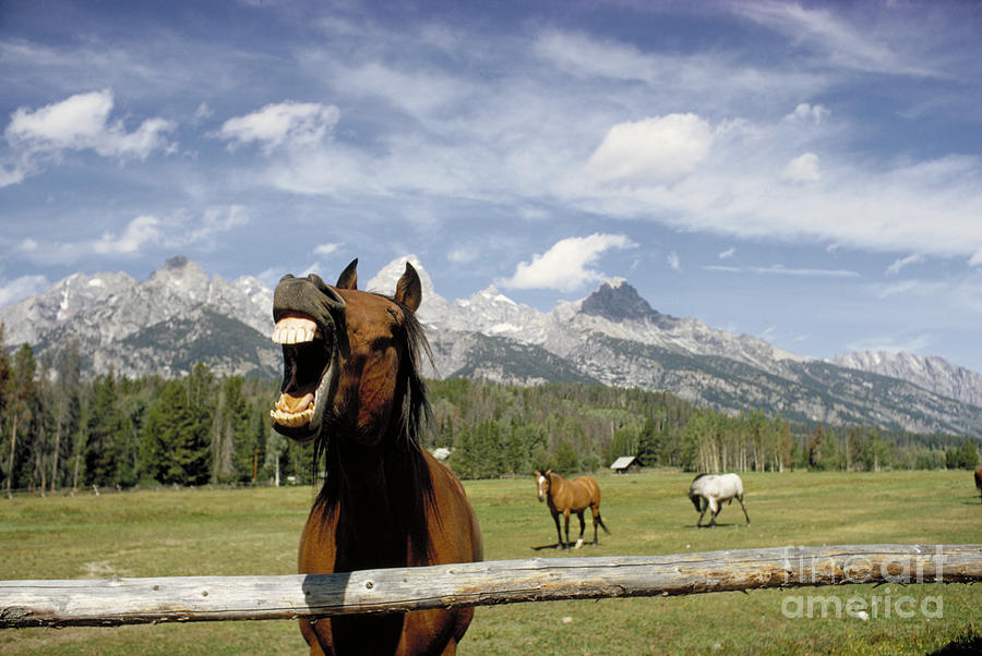 Nature Photograph - Laughing Horse by Porterfld and Chickerng and Photo Researchers