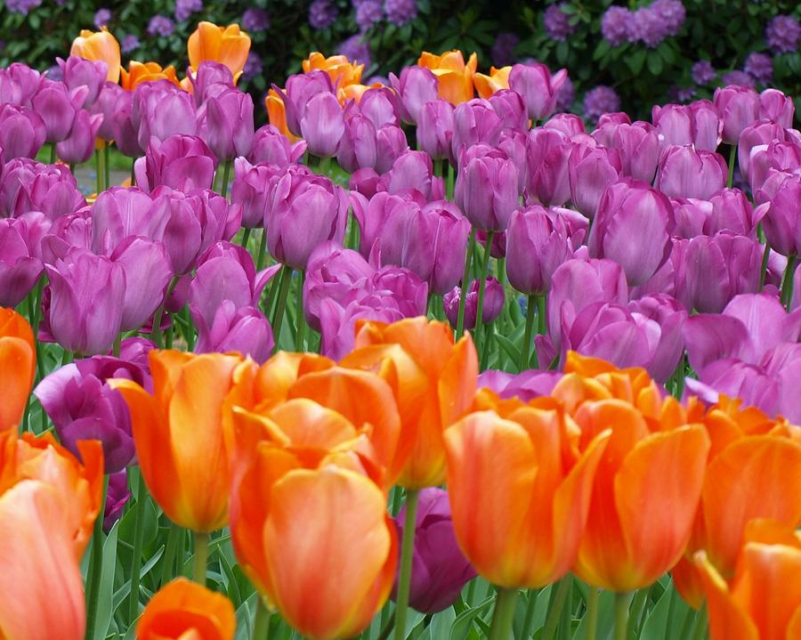 Flowers Photograph - Lavender And Orange Tulips by Larry Krussel
