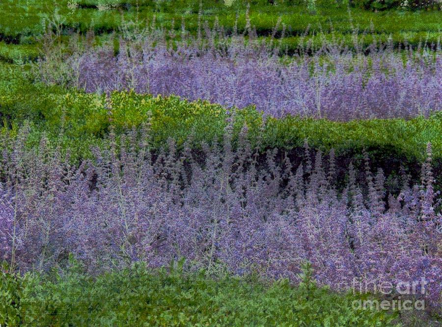 Lavender by Bob Senesac
