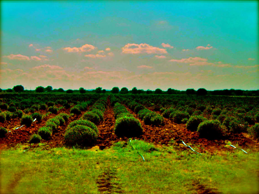 Lavender Fields Photograph - Lavender Fields  by Amber Hennessey