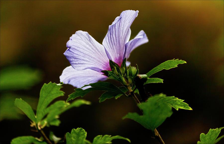 Lavender Flower Photograph