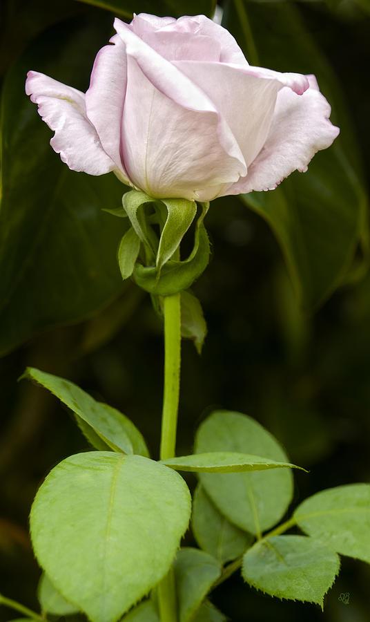 Flowers Photograph - Lavender Long Stem Rose by Barbara Middleton