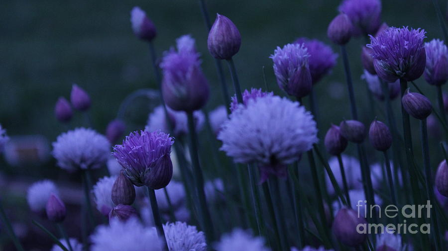 Lavender Flowers Photograph - Lavender Twilight by Iman Trek