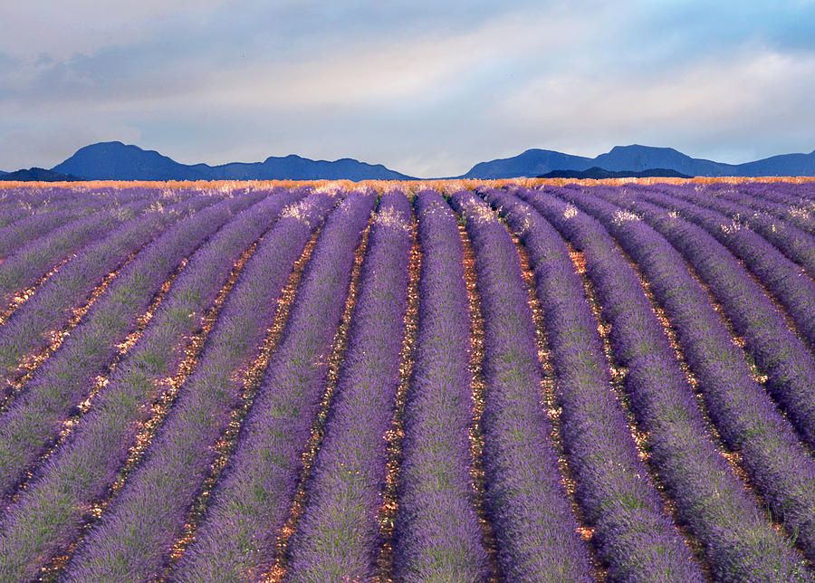 D7000 Sept 11 Photograph - lavenders in Valensole by Pascal Desvignes