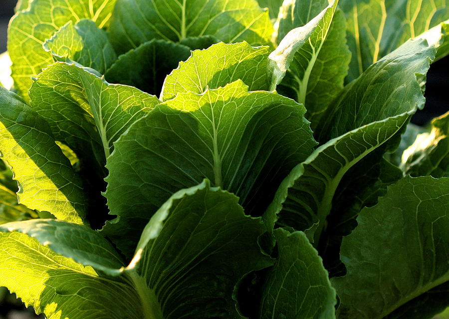 Garden Photograph - Layers Of Romaine by Angela Rath