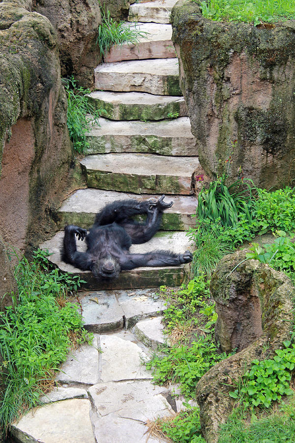 Long Photograph - Lazy Chimp by Lori Johnson