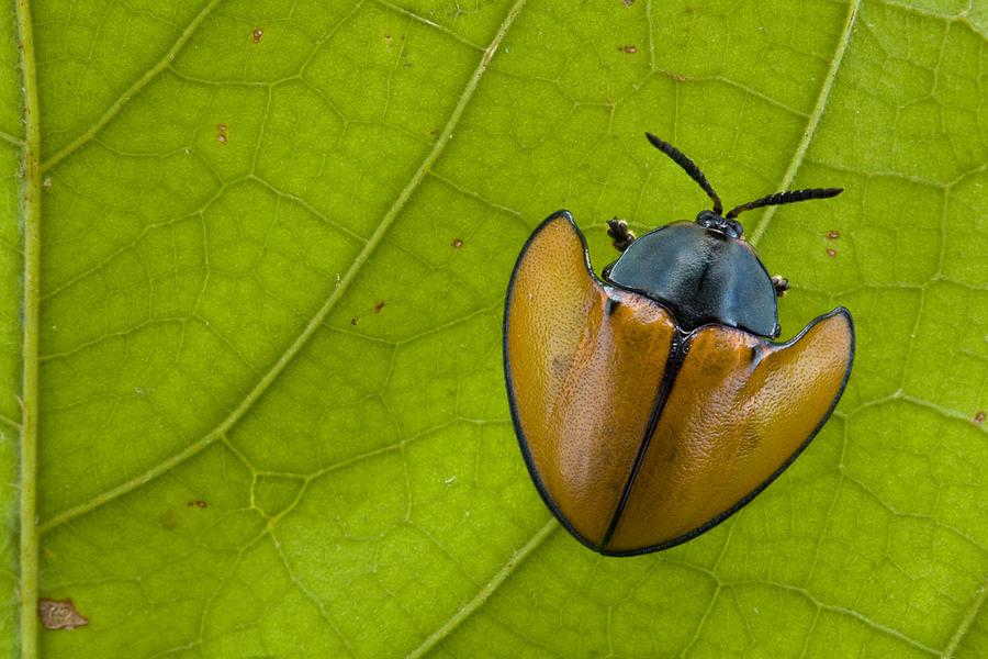 Leaf Beetle  In Rainforest Paramaribo Photograph by Piotr Naskrecki
